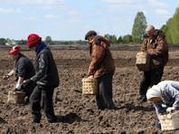 В Россельхознадзоре опровергли слухи о новых правилах посадки картофеля