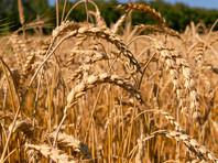 США нашли угрозу своей нацбезопасности в рекордных урожаях пшеницы в РФ. Но несмотря на рекорды, хлеб в России может подорожать