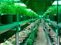 О новый дивный мир иллюзий: в Канаде, легализовавшей каннабис, появилась новая профессия - дегустатор марихуаны,